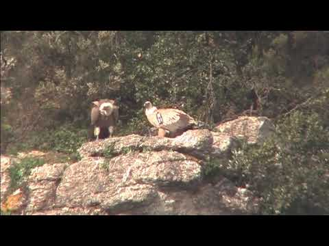 Breeding of Griffon Vulture at Jbel Moussa, Morocco