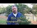 How to grow Yewtopia® Japanese Plum Yew (Cephalotaxus harringtonia - Compact Growing Conifer)