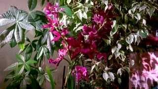 Орхидея Камбрия_ Как правильно ухаживать!!!(, 2015-10-25T02:13:08.000Z)