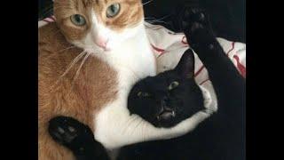 Кошачьи разборки Подборка смешного видео с кошками для хорошего настроения