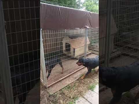 Breeder quality female Rottweiler verse not a breeding quality Rottweiler