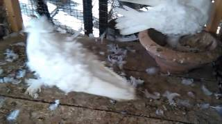 Large size White firlback pigeons breeder pair 03459442750 Zain Ali Farming in Pakistan