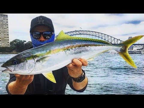 HUGE Sydney Harbour KINGFISH SESSION!!   Fish Australia