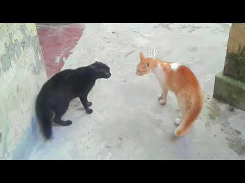Angry cats fighting video | Angry cat sound | Epic angry cats fight | cat fight 2017 | cute kitten