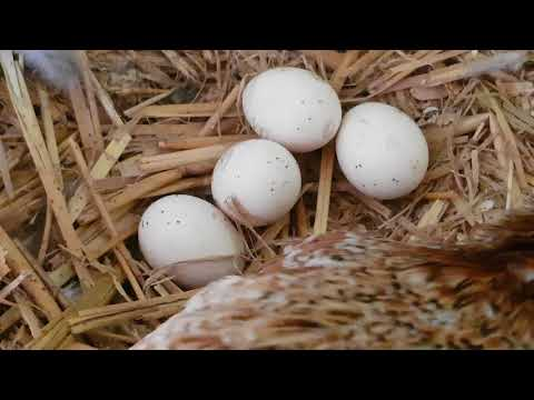 Prächtig Opfer der roten Vogelmilbe - YouTube @KF_92