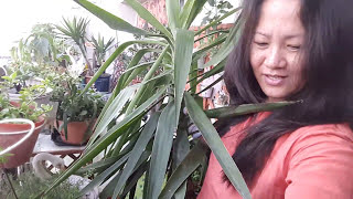 Cutting over grown yucca plant