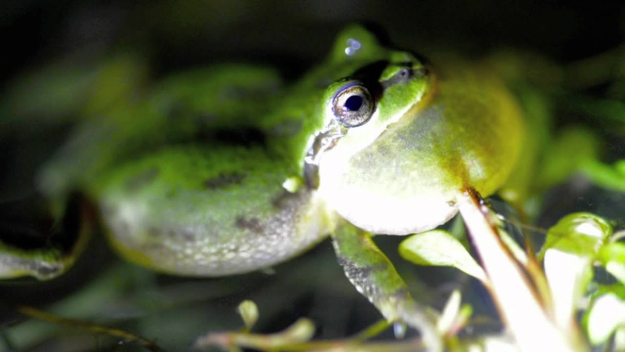 Sounds of spring pacific tree frogs in southwestern oregon youtube
