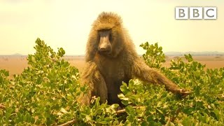 Baboon sneaks away from lion pride 👀 Serengeti II - BBC