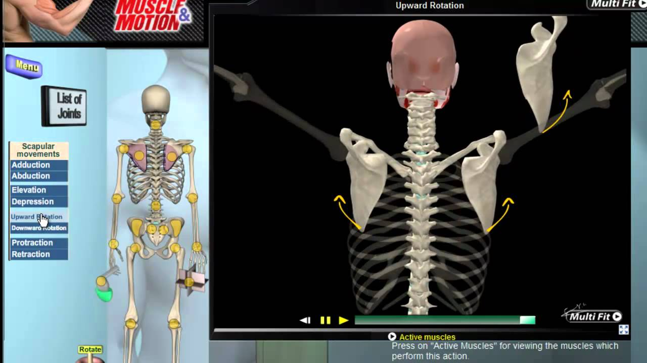 How Scapular Movement Works 3d Anatomy Diagrams Youtube