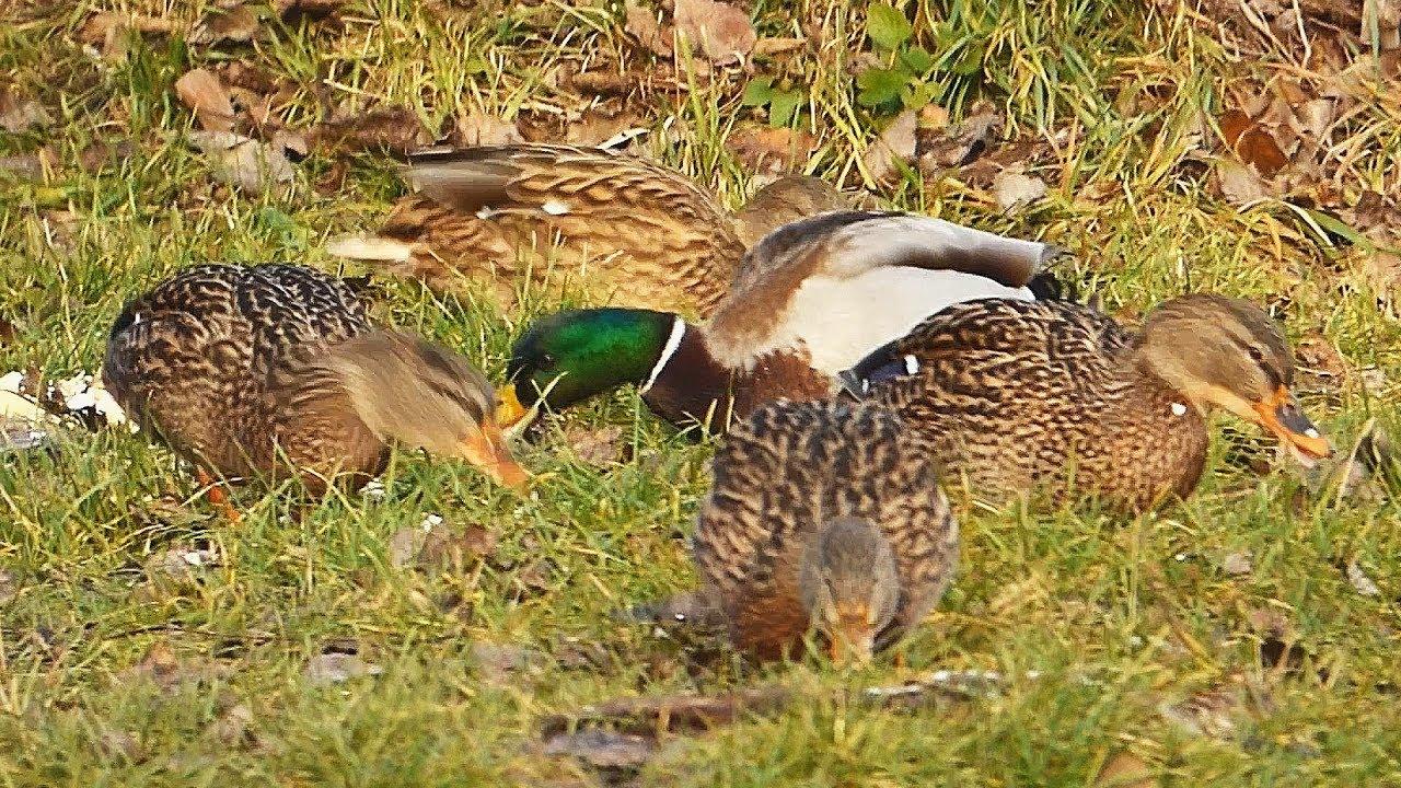 Kachna Divoka The Wild Duck Anas Platyrhynchos Krmeni