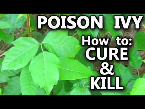 Poison Ivy How To Treat Rash Cure Kill Identify The Vines And Plant Leaves Stop The Itch