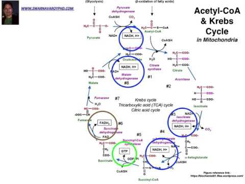 Calculation of Net gain of ATP production during Glycolysis & Krebs Cycle