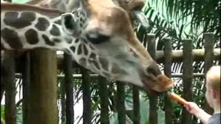 Сингапур, зоопарк, кормление жирафов. Singapore, zoo.  Смешные и забавные животные.