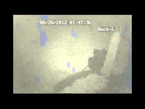Bear caught on security camers