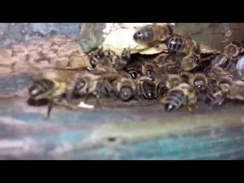Ловля  пчел, с одной березы 4 роя.