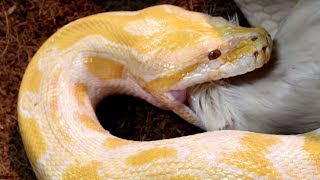 THIS is HOW you FEED HUGE SNAKES, GIANT LIZARDS and ALLIGATORS!! | BRIAN BARCZYK