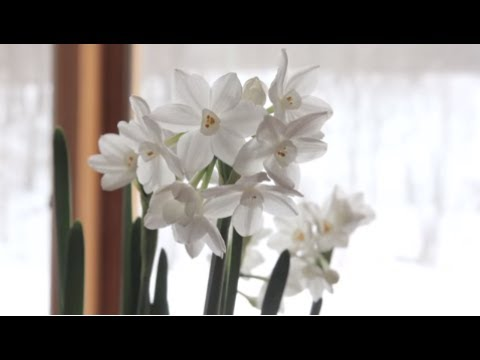 How to grow paperwhites paperwhite flowers youtube how to grow paperwhites paperwhite flowers mightylinksfo