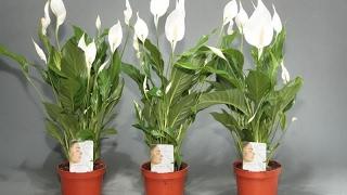 видео Цветок «Женское счастье»: приметы и суеверия о спатифиллуме