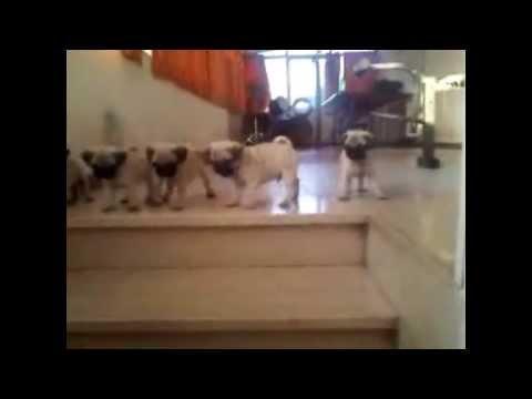 Cuccioli di Carlino imparano a scendere le scale :3