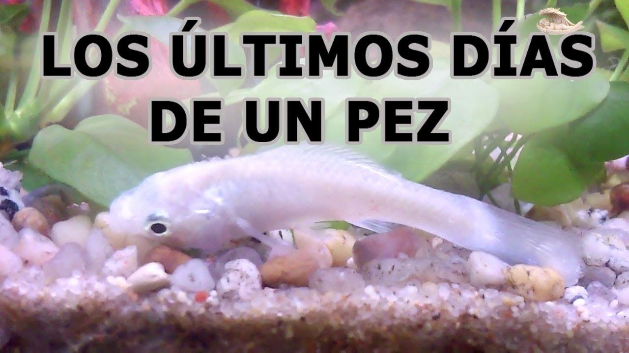Los ltimos d as de un pez y gambas en acuarios seguros for Comida viva para peces
