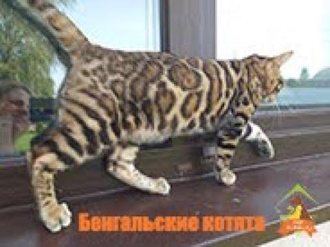 Бенгальские котята и беличье колесо)