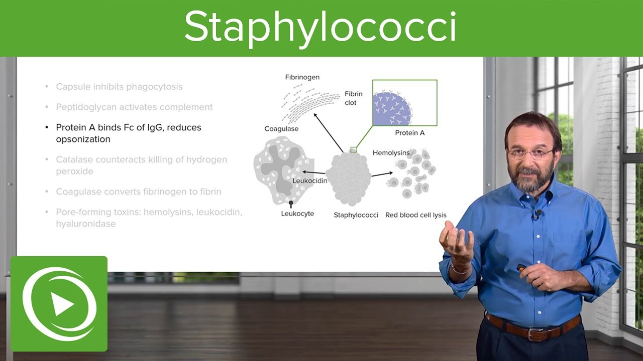 Staphylococci – Microbiology | Lecturio