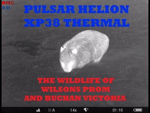 PULSAR XP38 THERMAL - WILDLIFE OF WILSONS PROM AND BUCHAN VICTORIA