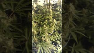Why You Don't Need Super Soil Part 6; Organic marijuana; 45 days into flower