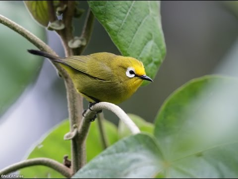 African montane white-eye bathing (Kikuyu brilvogel)