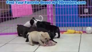 French Bulldog Puppies For Sale 19breeders