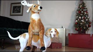 Dog Loves Reindeer Gift on Christmas: Cute Dog Maymo