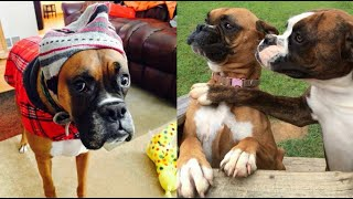 Funniest Boxer Dog Videos | Cutest Boxers Ever