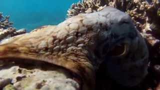 Octopus Lady Elliot Island Thumbnail