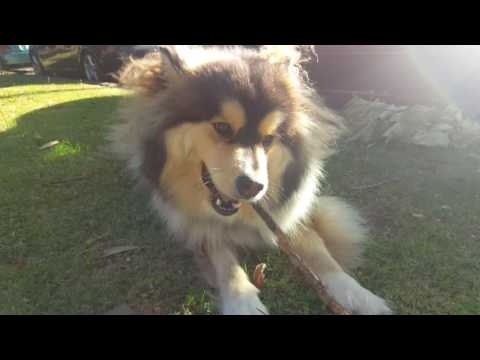 Heisenberg Finnish Lapphund just being a silly doof