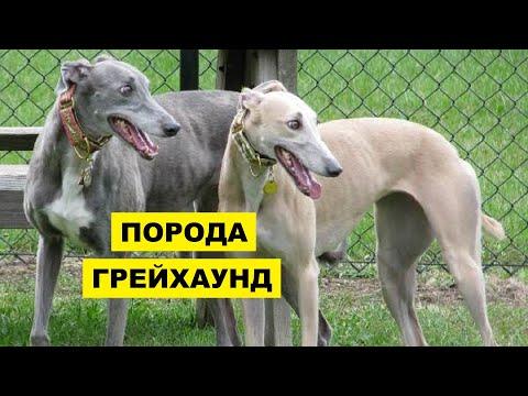 Собака Грейхаунд описание плюсы и минусы породы | Собаководство | Порода собак Грейхаунд