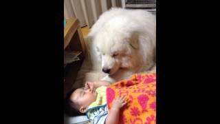 息子5ヶ月の添い寝に付き合うピレネー犬(4歳)