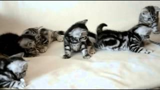 Наш питомник британских кошек British Magnificent Cat представляет