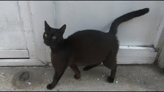 Pregnant black cat wants food and love
