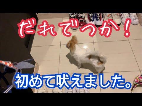💖家族に迎えてから初めて吠えた子犬チワワ【puppy chihuahua】【かわいい犬】【angry dog】【cute dog】【チワワ】