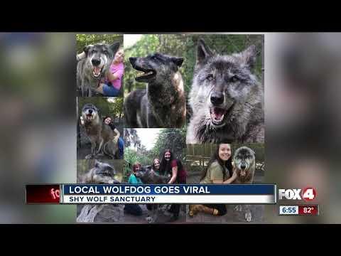 Yuki the wolfdog goes viral