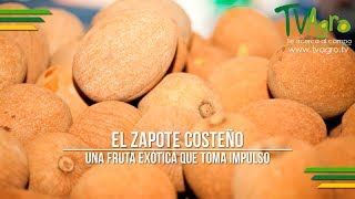 El Zapote Costeño: Una Fruta Exótica que Toma Impulso - TvAgro por Juan Gonzalo Angel