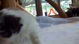 生後45日の珍しい茶毛の狆の動画です。 詳細はこちらをご覧ください⇒ ht...
