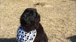 我が家のニューファンドランド犬は、小首をかしげます。