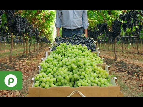August - September | At Season's Peak: Grapes from the San Joaquin Valley