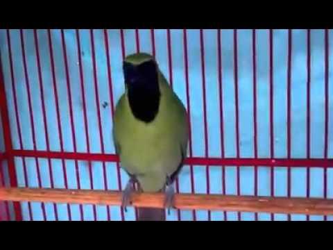 Burung Cucak Hijau Gacor Nembak