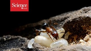 Ant Roles Can Be Controlled By Injection