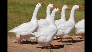 Domestic Geese In Planet Earth Aquarium Mysore