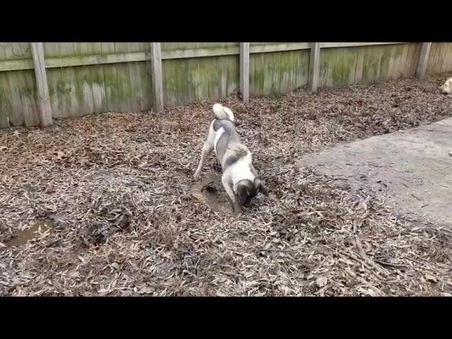 rakki inu akita rescue