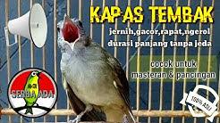 Masteran Suara Burung Kapas Tembak Gacor Pilihan Juri Senasional Durasi Panjang #kapastembak