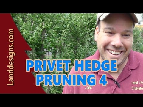 PRUNE OVERGROWN PRIVET HEDGE 4 - THE RESULTS!